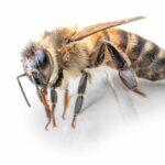 """Wywęszy kwiat, wywęszy chorobę! Czyli pszczoły czują """"koronawirusa"""""""